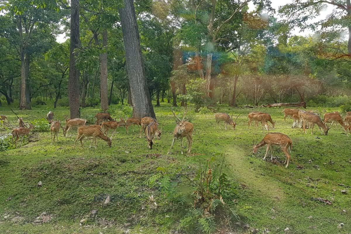 Flock of deer inside Nagarhole, on the way to Jungle Retreat Wayanad